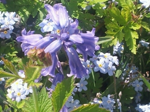 bluebells and forget-me-nots